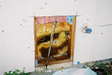Honey bee comb in wall